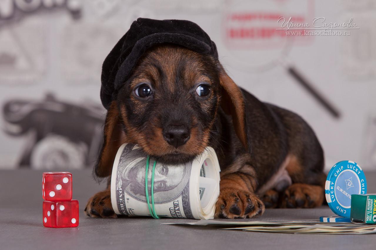 щенок таксы миниатюрной продается