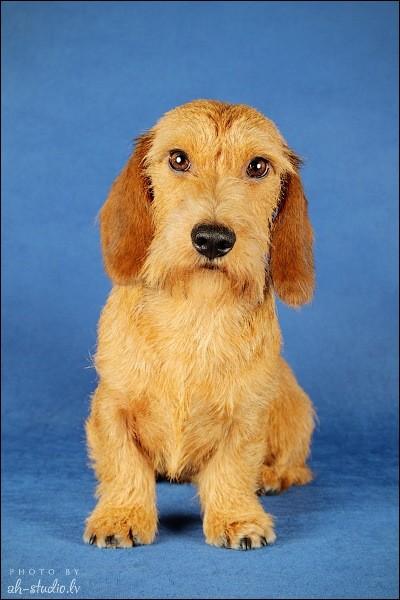 dachshund такса карликовая/миниатюрная жесткошерстная Tsertus Forward Looking