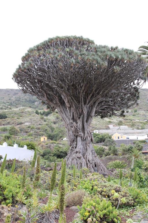 Drago Milenario - den ältesten noch erhaltenen Drachenbaum der Welt findet man in Icod de Los Vinos