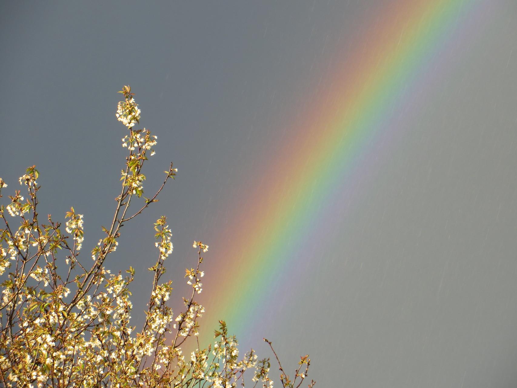 Regenbogen und Kirschenblüte