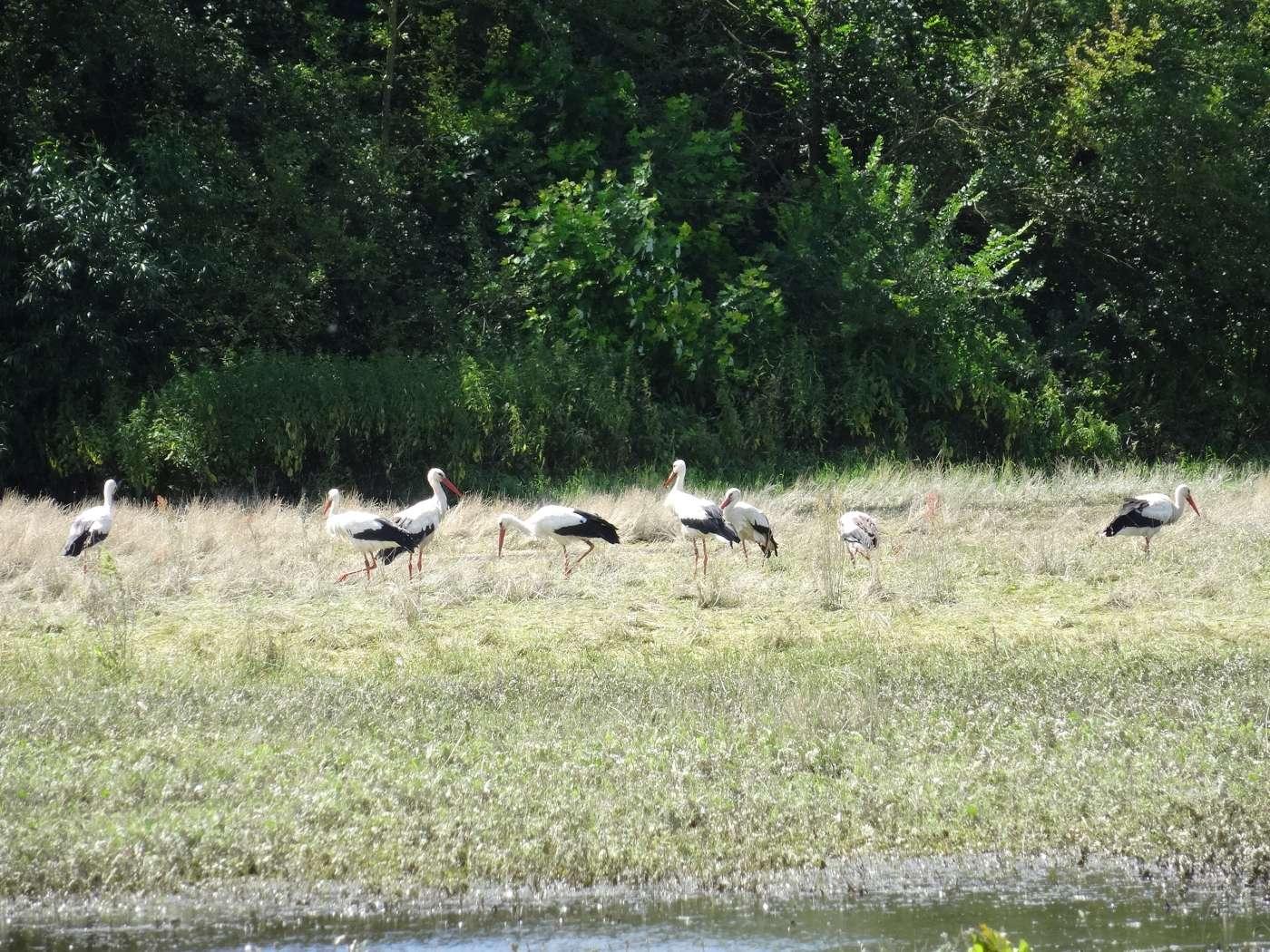 Dank Schutzmaßnahmen wieder heimisch in den Rheinauen: Der Weißstorch