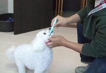 日課の歯ブラシをしている犬