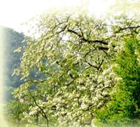 アカシア花蜂蜜―はちみつの栄養効果