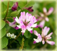 レンゲ花はちみつ―はちみつの栄養効果