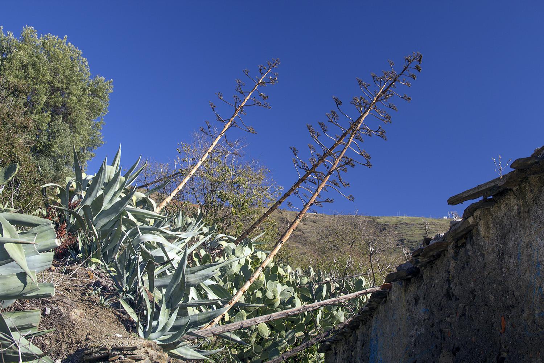 """Cactus Flowers"" - Polopos, Costa Tropical - FF07644"