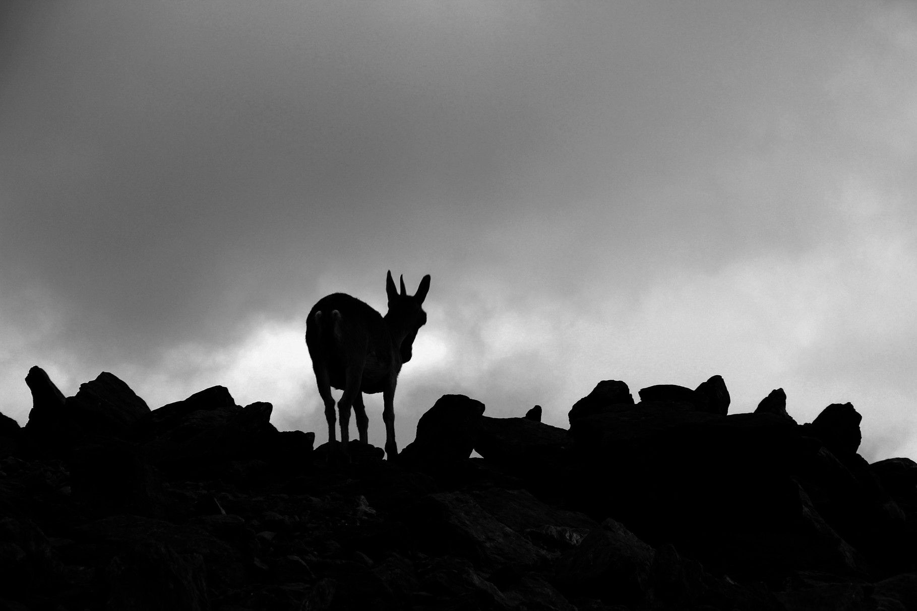 """Mountain Goat Shadow""- PN Sierra Nevada, Granada - WL05007"