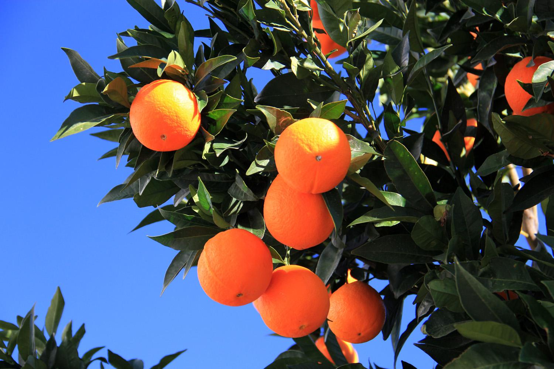 """""""Oranges"""" - Valle Lécrin, Granada - F07212"""