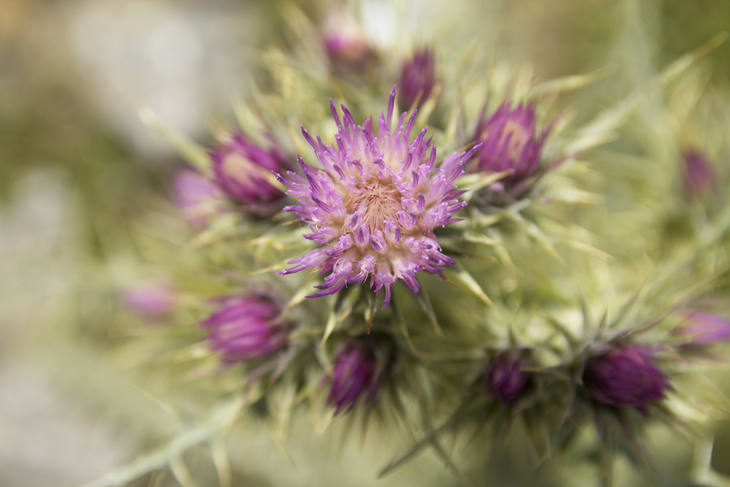 """""""The Thistle"""" - FF00006"""