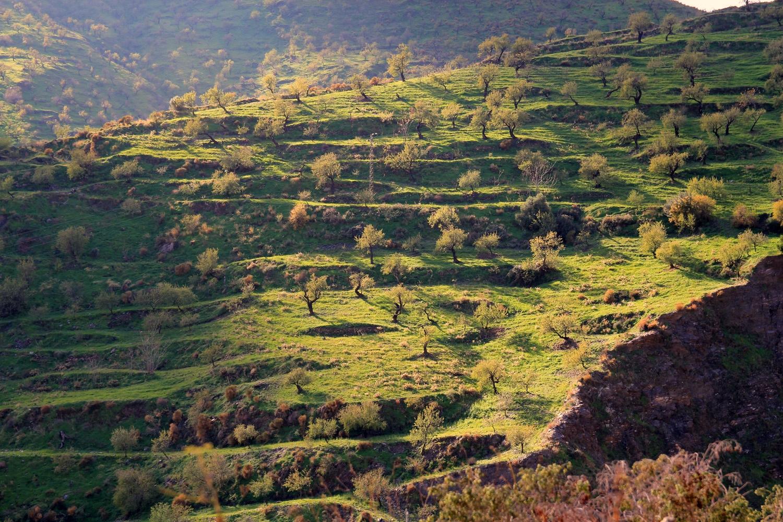 "The Almond Trees"" - Albunol, Granada - LS07713"