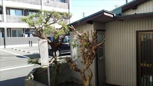 庭木剪定・草取り②