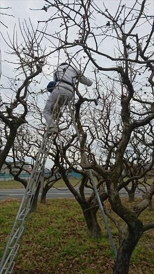 柿の木剪定