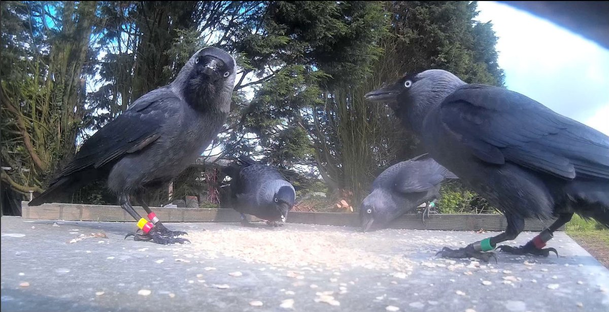 Dr Alex Thornton's Cornish Jackdaw Project is exploring social learning and cognition in wild jackdaws