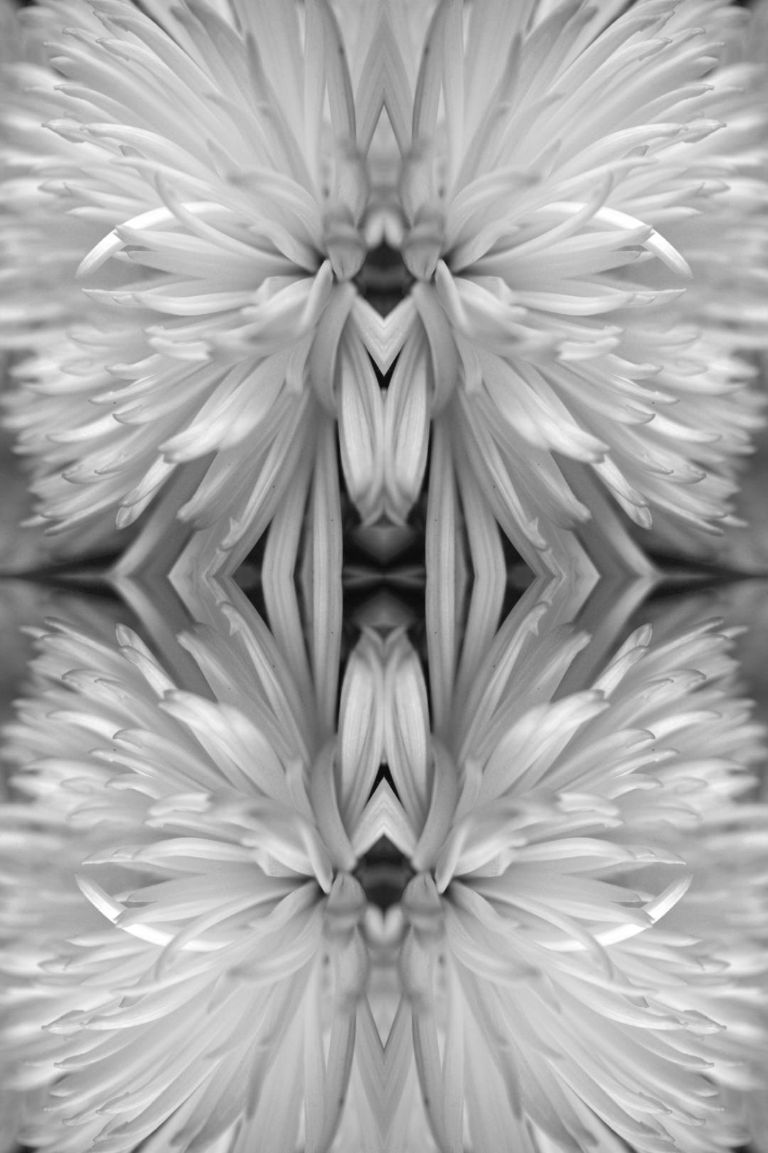 Chrysanthemum Classic Silver