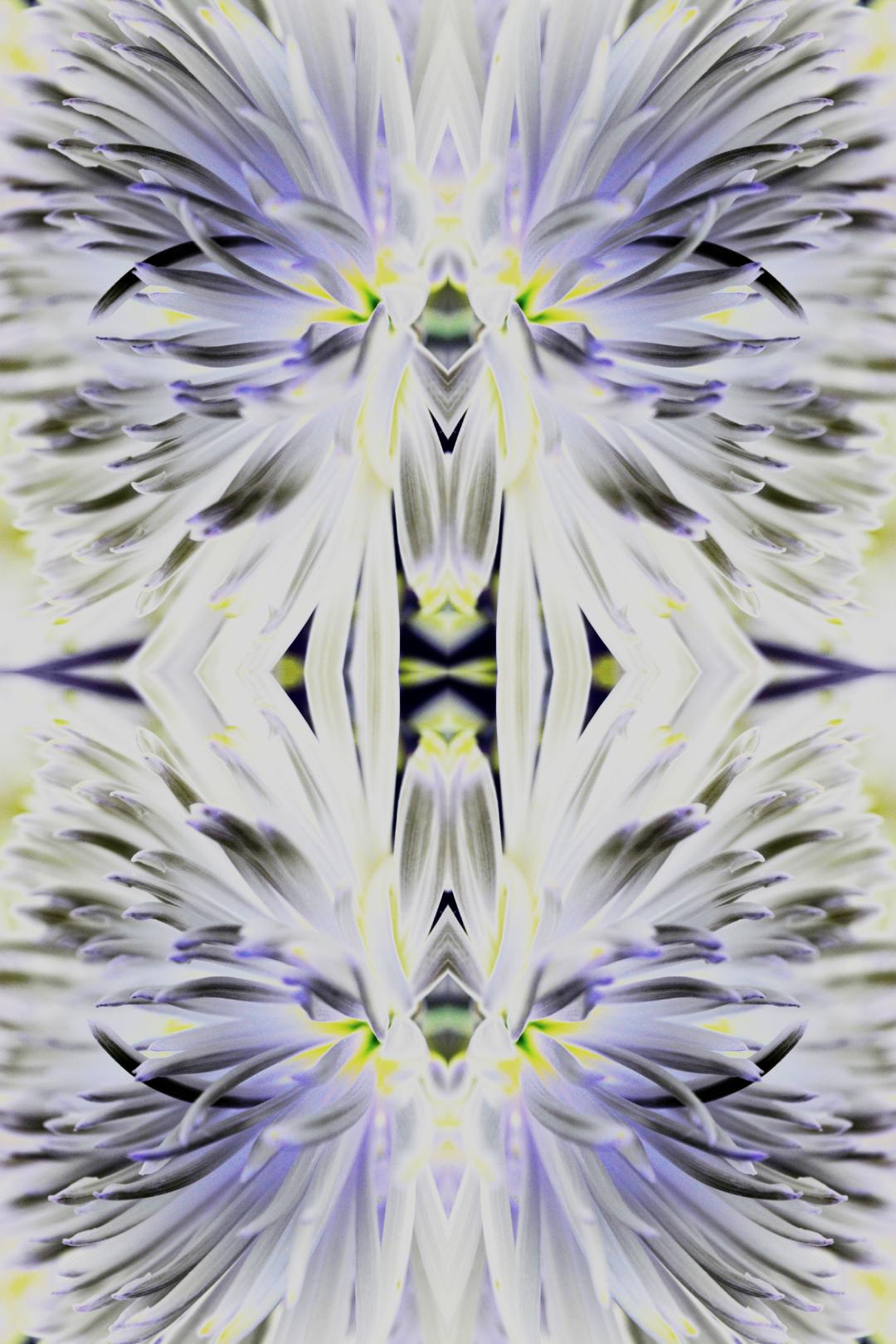 Chrysanthemum Vivid Glow
