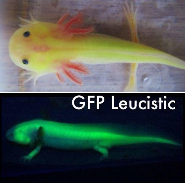 Leucistique GFP sans néon et avec néon