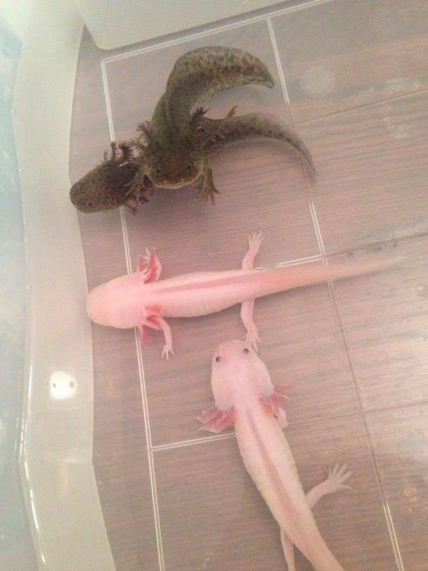 Sauvages, Leucistique ''Blue gills'' et albinos white