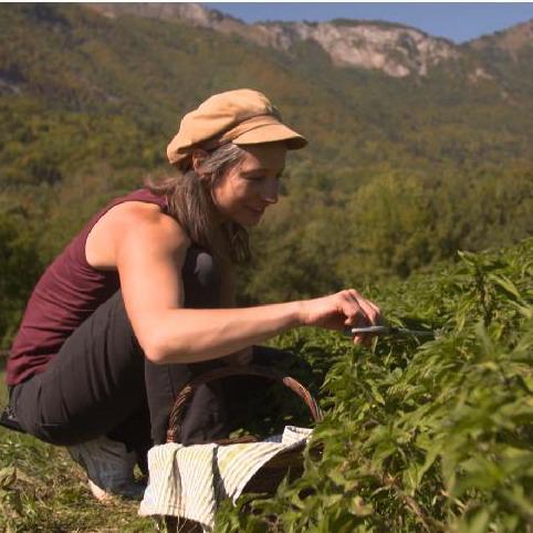 récolte des orties de montagne