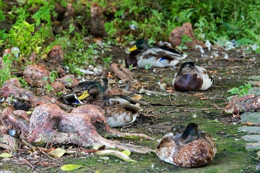 Die Enten sitzen gut getarnt zwischen den Wurzeln und schauen uns zu.