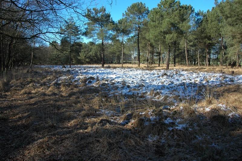 Lande humide à Molinie et Ericacées, en partie colonisée par les Pins- EPL La lande de la rencontre - Janvier 2012 - Cliché : Loïs MOREL.