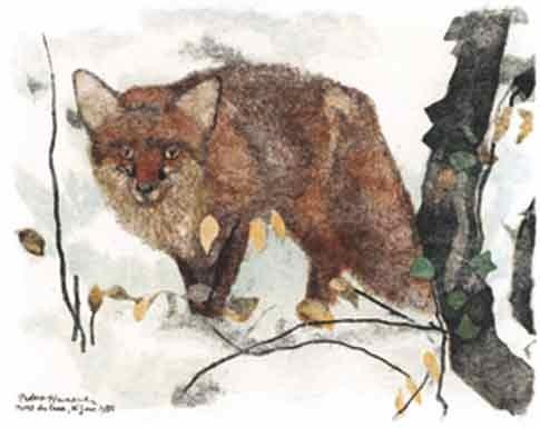 Renard roux - Gravures de Robert HAINARD