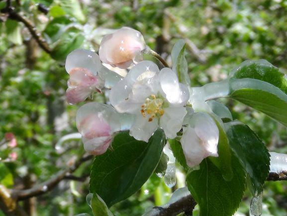 Eisheilige, Frost, Frühling, Bauernregeln
