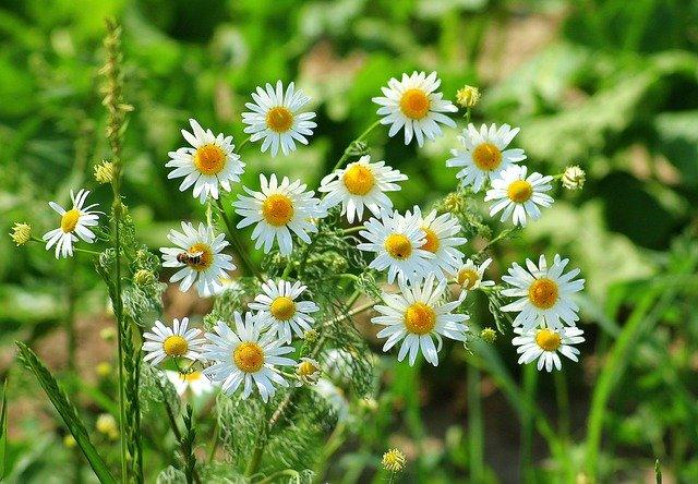 Kräuterweide, Artenvielfalt, Kamille, naturnahe Pferdehaltung