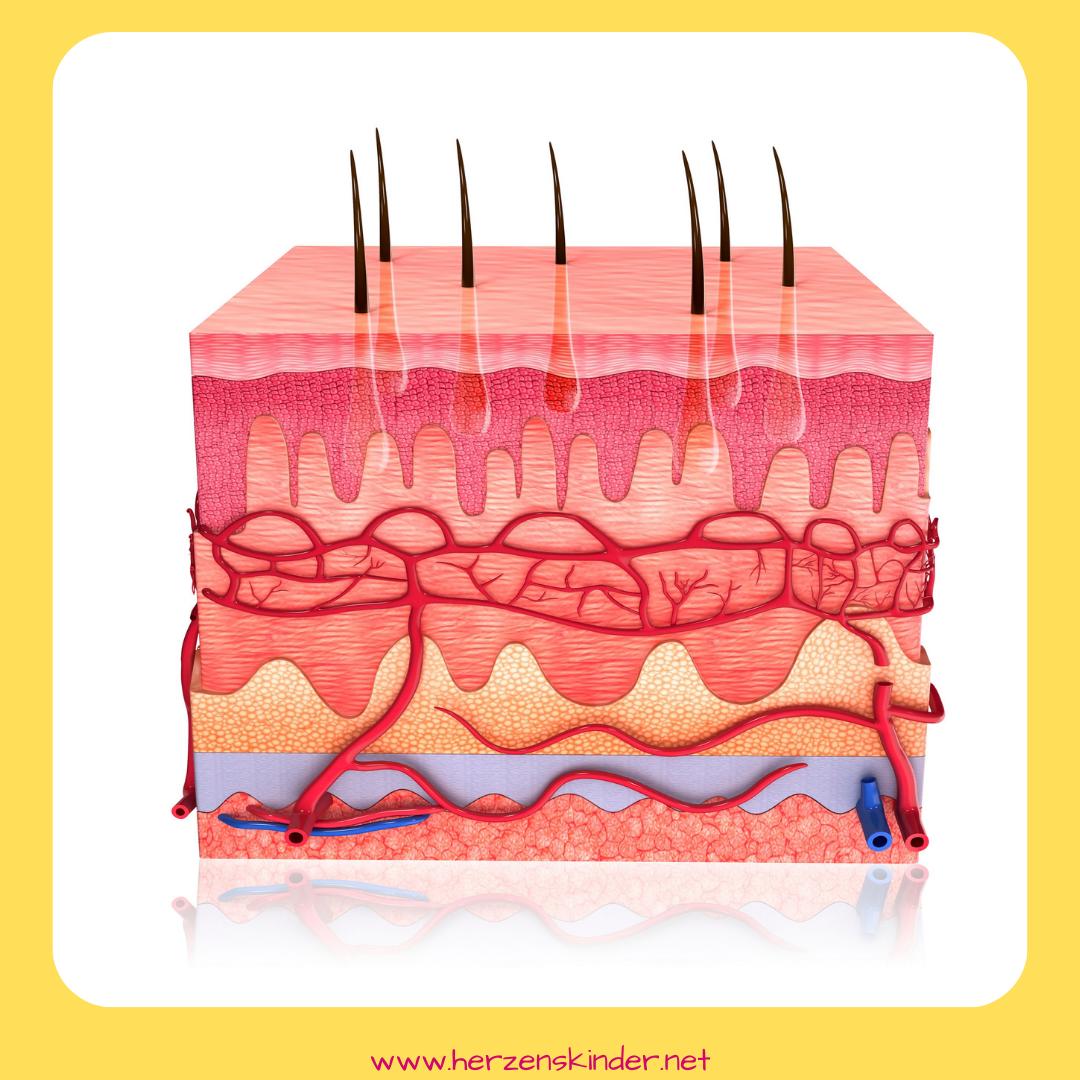 Unser größtes Organ, die Haut