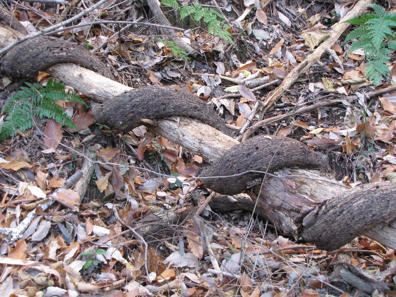 枯木に絡みついた蔦・・・まるで蛇のよう