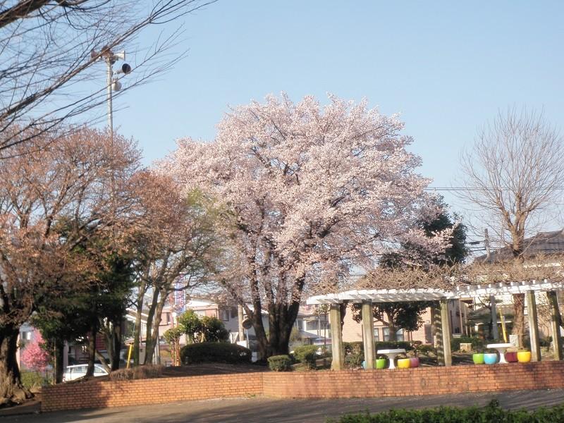 桜咲く今田公園