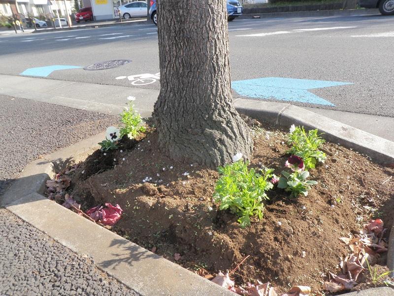 植栽後の街路樹桝1