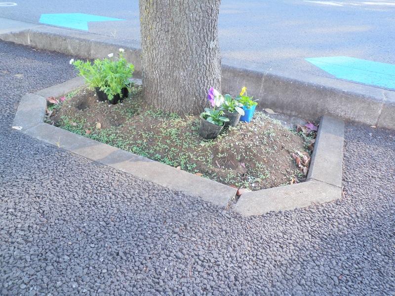 植栽前、街路樹桝に置かれたポット苗