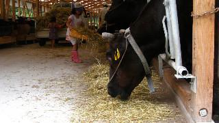 夏休み、牛舎で手伝う子供たち。