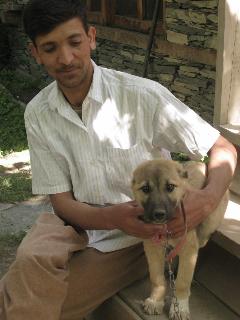普通のカラーシャ犬は小さい時に耳が切られる。去年まで飼っていたチビ(後大きくなってデカチビになる)