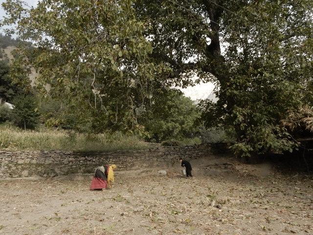 サジゴールトンのクルミの収穫