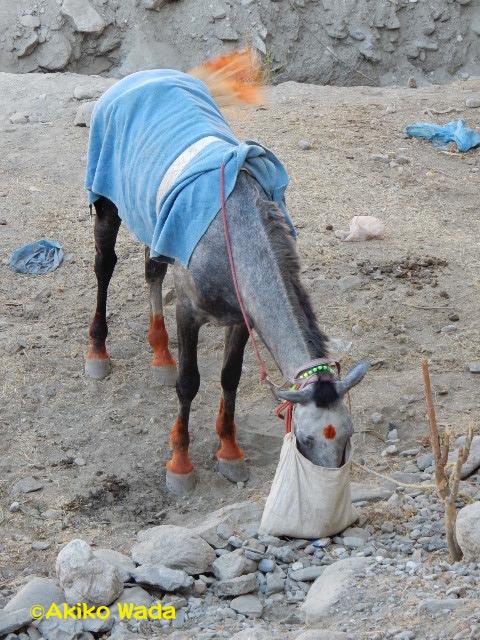 チトラールで。ヘナでお洒落したポロ用の馬ちゃんが餌を食べています。
