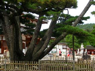 伊藤博文が植えたという、同じ根から8本の幹が出ている松。