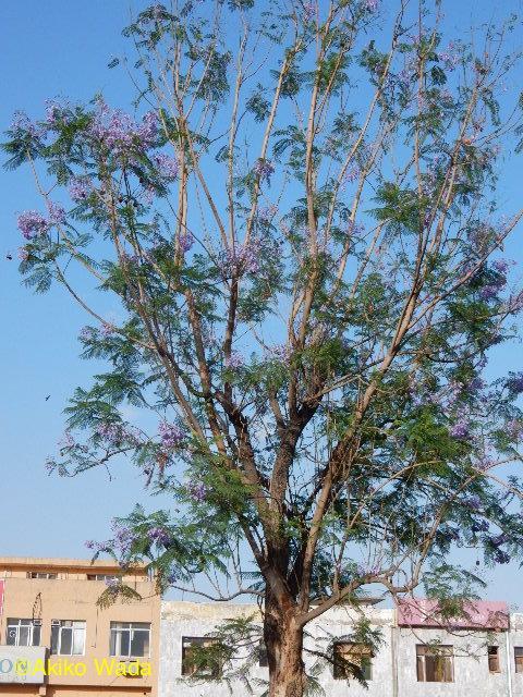 ジャカランダの花がちょうど盛り