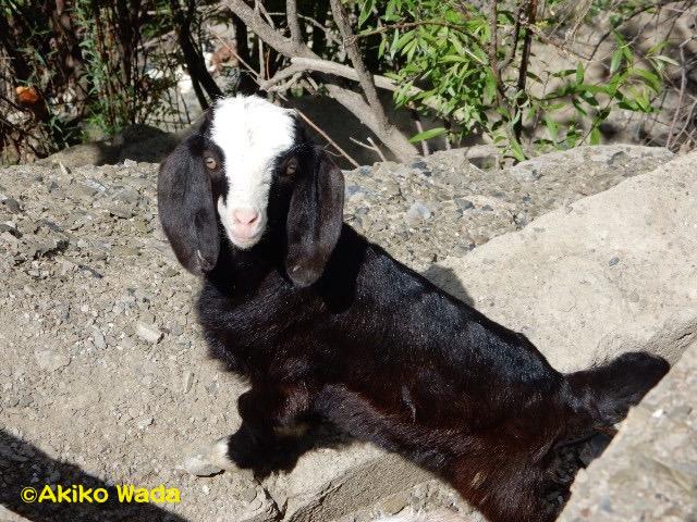 この春生まれた子山羊ちゃん。かわゆいのう。