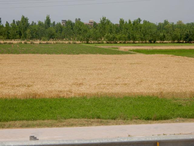 郊外に出たら畑が広がり、ほっとする。ちょうど小麦の収穫期だ。しかし、ヘルガさんに言わせると、パキスタンの作物は農薬漬けになっていて畑がどんどん痛んできているそうだ。人間の健康も侵されているってことです。