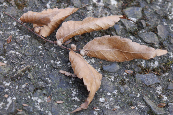 ケヤキの枝と種子