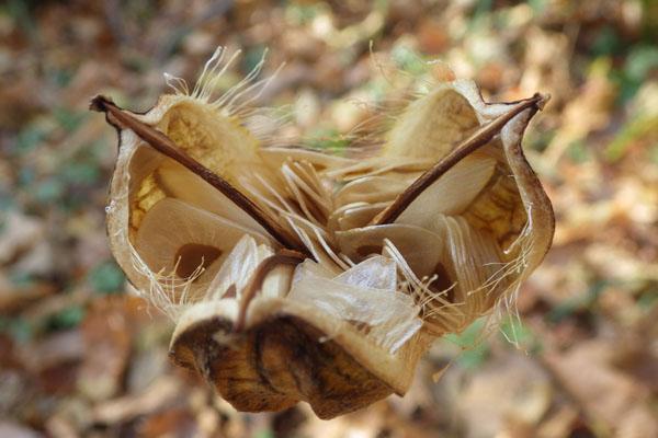 ウバユリの実と種子散布(種は600個くらい入っているらしい。今度数えてみます。)