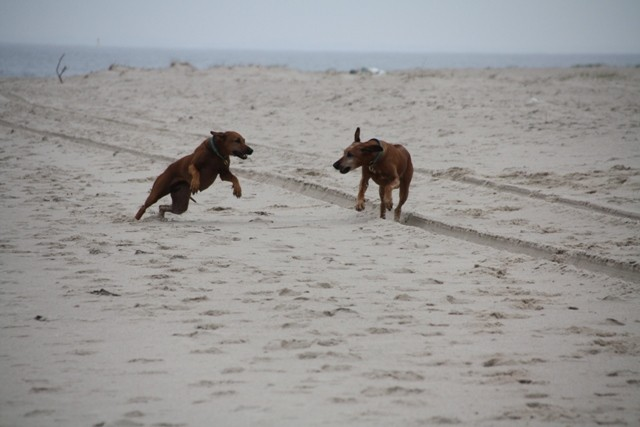 Hier toben die beiden am Lister Ellebogen. Hier ist der Strand besonders breit und relativ wenig bevölkert.