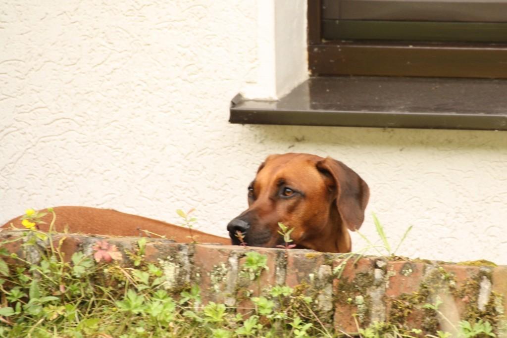 Pebbles wartet gedulig hinter der Mauer: Der Jungspunt ist mir zu wild