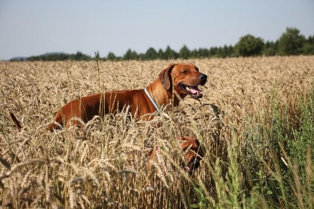 Rotweizen im Weizen
