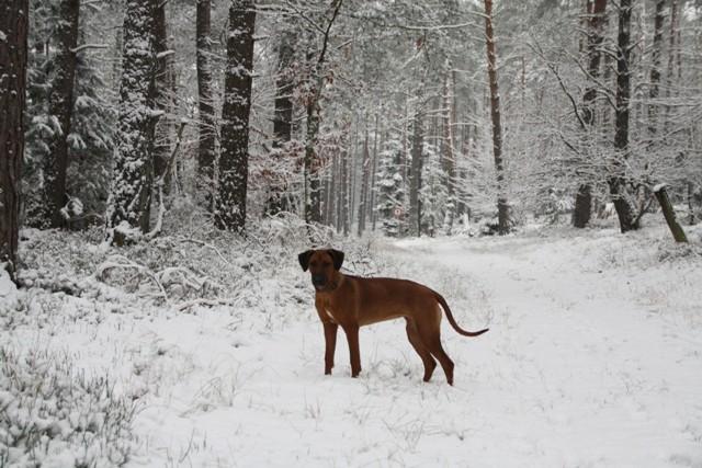 Zuri im Winterwald