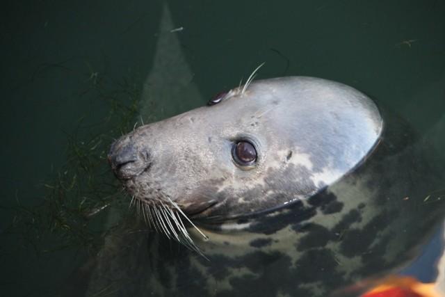 ...die zahme Robbe im Hafen von Hörnum.