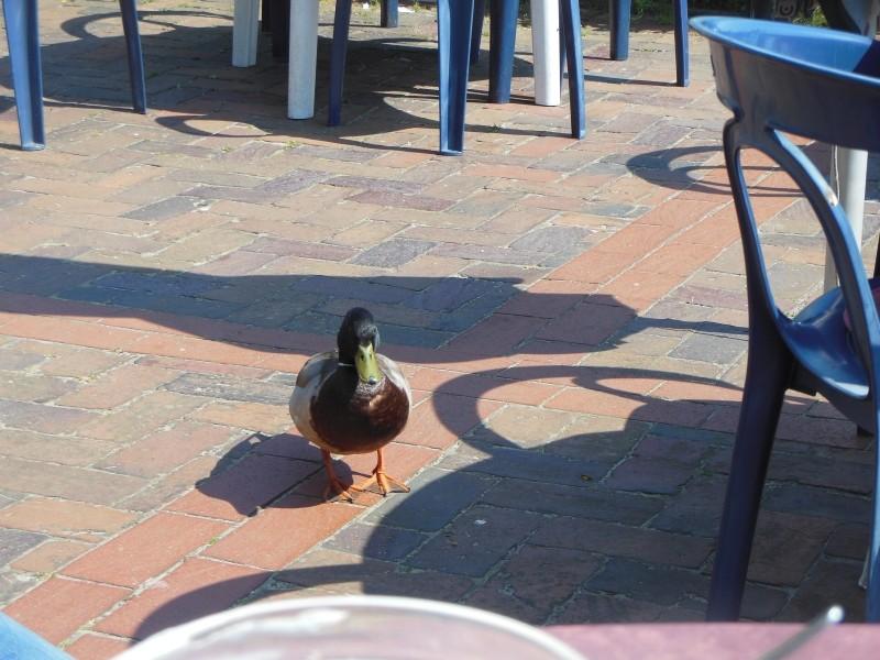 nur eine Ente