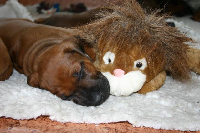 Müde von der Löwenjagd