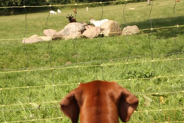 Hier darf Röschen die Tiere sehen, dessen Milch sie so gerne trinkt