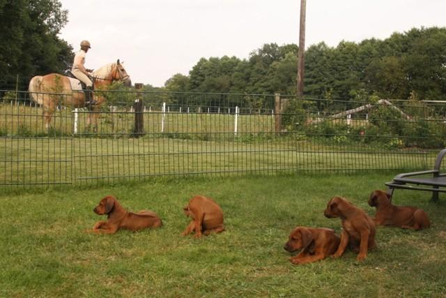 Entspannte Hunde - aufgeregtes Pferd